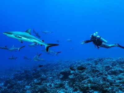 Plongée requins 1