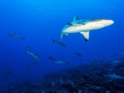 Plongée requins 2